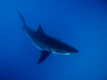 Great white shark under sunlight in the blue ocean. Great white shark under sunlight in the blue Pacific Ocean at Guadalupe Island in Mexico Stock Photo