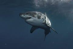 Great White Shark Underwater Stock Photos