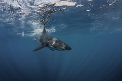 Great White Shark Underwater. Great White Shark in blue ocean. Underwater photography. Predator hunting near water surface royalty free stock photography