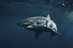 Great White Shark Underwater Stock Photo