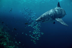 Great White Shark underwater with fish. Great white shark hunting fish in deep blue water of sea Stock Photo