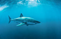 Great white shark underwater Royalty Free Stock Image