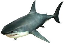Great White Shark Upper Stock Image