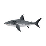 Great White Shark on White Background Stock Photos