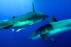 Great white Sharks fighting Stock Photos