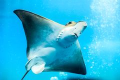 Great white Stingray, in blue water. Scat floats in blue water filled with air bubbles. Clear water and white Stingray body Royalty Free Stock Images