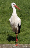 Great White Stork. With green grass as background Stock Photography