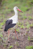 Great white stork walking in short grass hunting for food Royalty Free Stock Photo