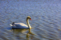 Great white swan Royalty Free Stock Photography