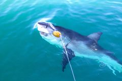 Great White Taking Bait Stock Photography