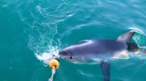 Great White Taking Bait Royalty Free Stock Photography