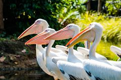 Great Whtie Pelican. Close up shots of great white pelicans royalty free stock image