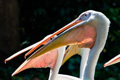 Great Whtie Pelican. Close up shots of great white pelicans stock image