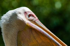 Great Whtie Pelican. Close up shots of great white pelicans Royalty Free Stock Images