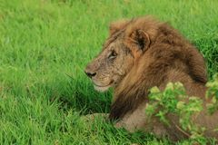 Great Wild African Lion leaning on the Road royalty free stock photo