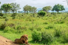 Great Wild African Lion leaning on the Road stock photography