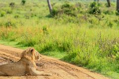 Great Wild African Lion leaning on the Road stock image