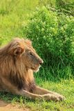 Great Wild African Lion leaning on the Road stock images