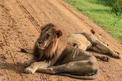 Great Wild African Lion leaning on the Road royalty free stock photography