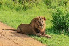 Great Wild African Lion leaning on the Road royalty free stock image