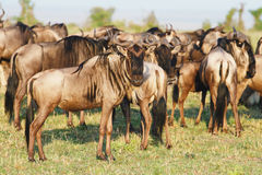 The Great Wildebeest Migration Royalty Free Stock Photos