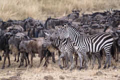 Great Wildebeest Migration Stock Photography