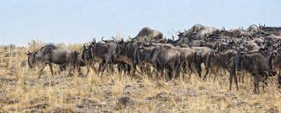 Great Wildebeest Migration Stock Images