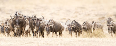 Great Wildebeest Migration. Herd of white bearded wildebeest (Connochaetes tuarinus mearnsi)  during annual migration from  Serengeti National Park in Tanzania Royalty Free Stock Photography