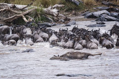 Great Wildebeest Migration Stock Images