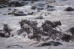 Great Wildebeest Migration Royalty Free Stock Images