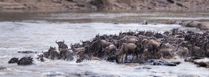 Great Wildebeest Migration Stock Photography
