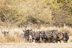 Great Wildebeest Migration Royalty Free Stock Photos