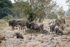 Great Wildebeest Migration Royalty Free Stock Image