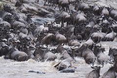 Great Wildebeest Migration Royalty Free Stock Photo