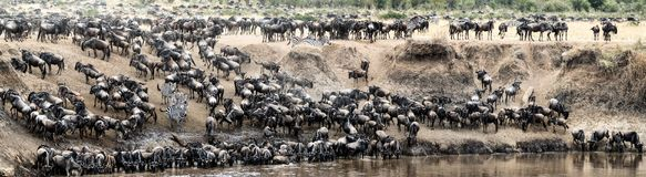 Great Wildebeest Migration Panoramic Scene. Panoramic photo of large herds of wildebeest and zebra on the bank of the Mara River during migration season in Kenya Stock Image