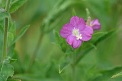 Great willowherb (Epilobium hirsutum) Stock Photo