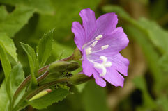 Great Willowherb Stock Image