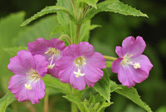 Great Willowherb Stock Images
