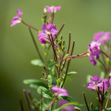 Great Willowherb Royalty Free Stock Photography