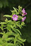 Great Willowherb Royalty Free Stock Image