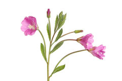 Great willowherb Royalty Free Stock Images