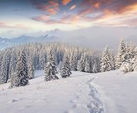 Great winter landscape in Carpathians with snow covered fir tree. S. Colorful outdoor scene in foggy mountains, Happy New Year celebration concept. Artistic Stock Photo