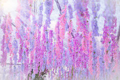 The great wisteria flower. In Flower tunnel Stock Photos