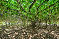 Great Wisteria tree. At flower park in Tochigi, Japan Stock Images