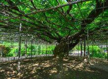 Great Wisteria tree. At the park in Tochigi, Japan Royalty Free Stock Photos