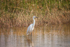 Great Withe Heron in water, Botswana. African Withe Heron in water of Botswana reserve, South Africa Royalty Free Stock Image