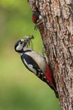Great Woodpecker Feeding youngster. Female great woodpecker is feeding youngster popping from a tree Stock Image
