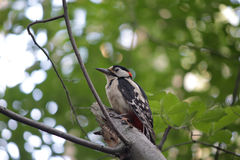 Great woodpecker is sitting on a tree bole Stock Photos