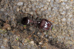 Great worker ants. Nature ecology insects, outdoor, arthropods, ants, red color, macro close-up Stock Photo