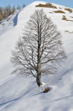 Great Wych  elm tree in a snowy landscape Stock Photography